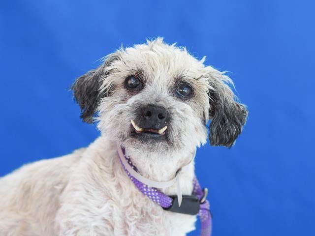 Sweet Snaggletooth Senior Stray Needs A Lap To Cuddle On Dog Adoption Pets Animal Activism