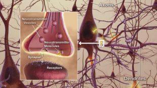 Synaptic Pruning Improves Autism in Mice | The Scientist Magazine®