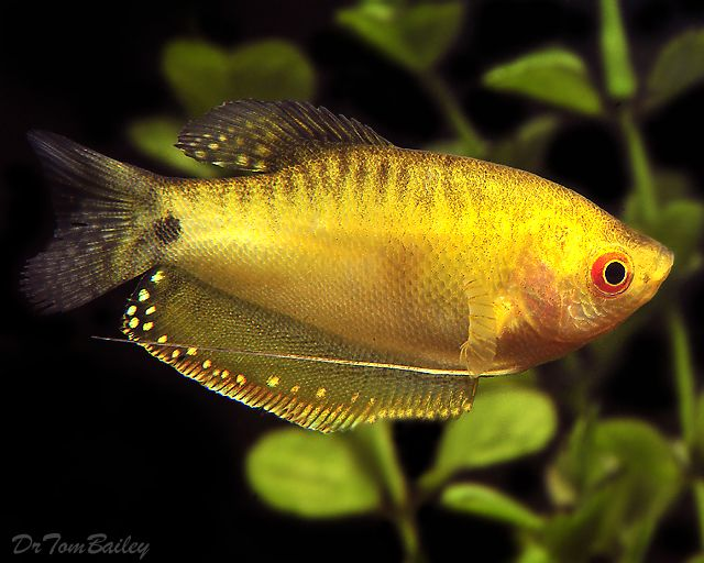 432 best images about fishes on pinterest cichlids for Big freshwater aquarium fish