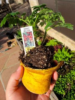 Rosen mögen sie, Tomaten auch - eine Bananenschale im Pflanzloch ist eine gute Starthilfe für Tomatensetzlinge.