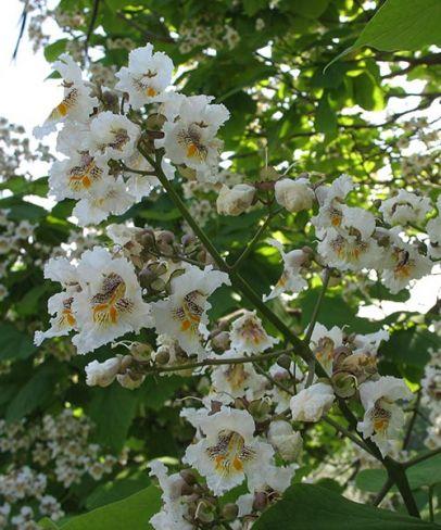 Katalpa trubačovitá / Catalpa bignonioides Působivé, až 30 cm velké laty, velké srdčité listy a na podzim dlouhé plody ve tvaru doutníku, to vše z ní dělá oblíbený strom do zahrady. Nenáročný na klima a půdu.