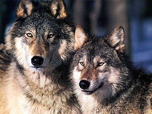 Fable des deux Loups
