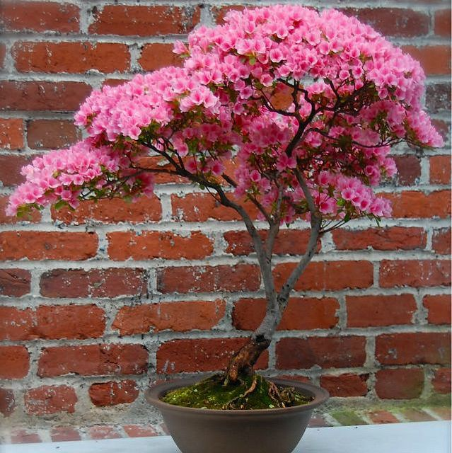 Azalea planta que purificanel aire.