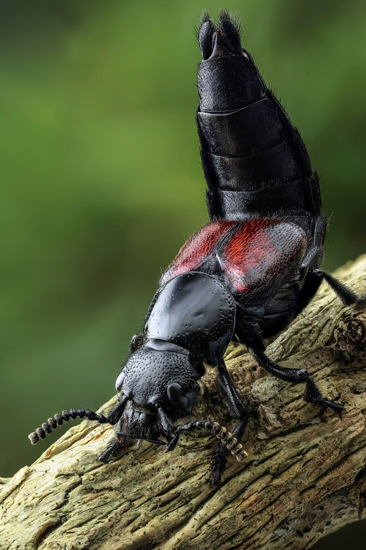 Giant rove beetle in the miombo forests. It's about 32mm long, black, hairy, with strikingly bright reddish elytra and beaded antenna. It hunts under the vegetation growing on and around huge termite hills.