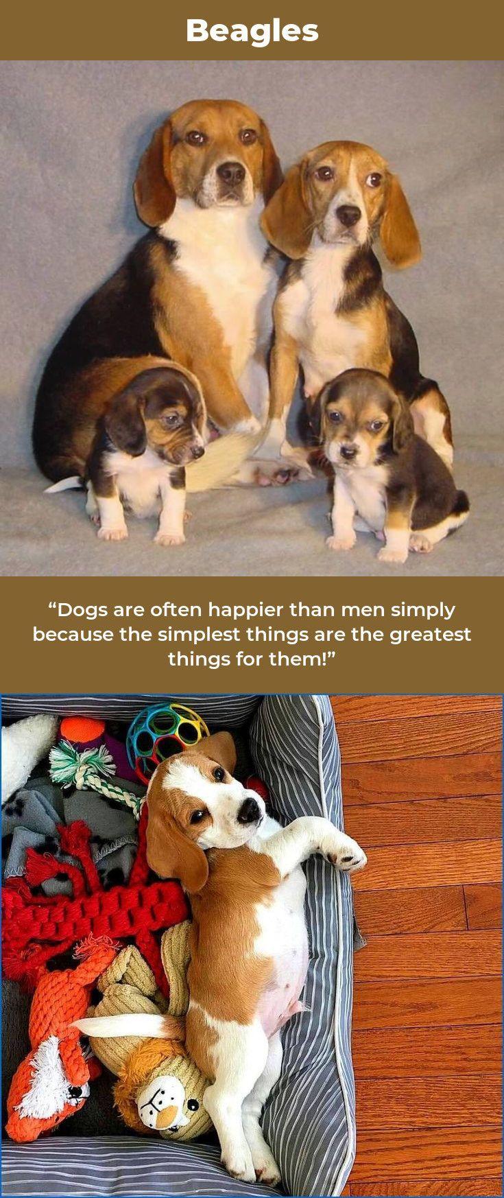 Beagle Friendly And Curious Beagle Puppy Beagle I Love Dogs