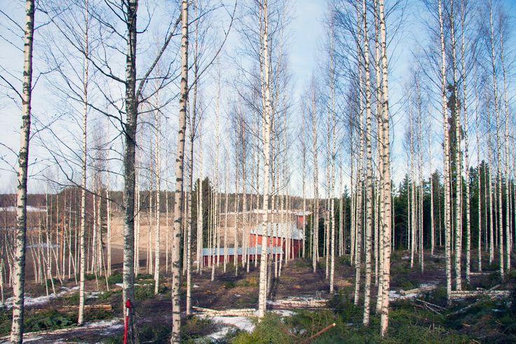 Finnish birch forest