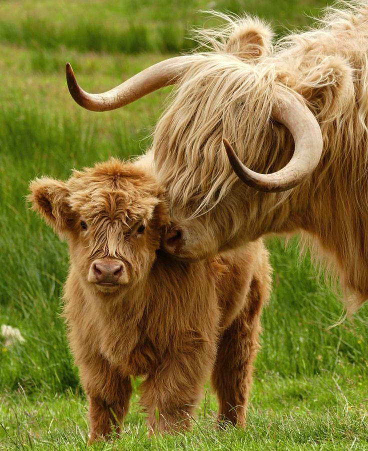 Highland Coos Scotland Scottish highland cow, Fluffy