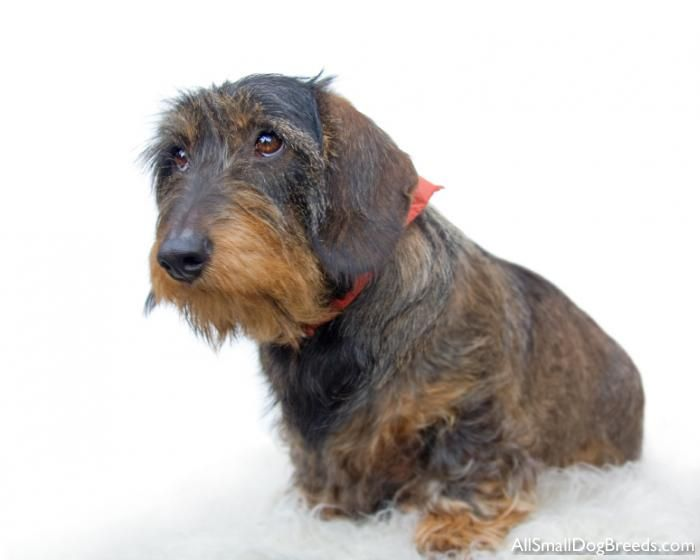 adorbs wirehaired dachshund | animals | Pinterest | Paris ...