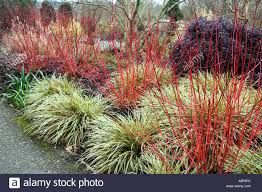 Image result for Carex oshimensis 'Evergold' winter