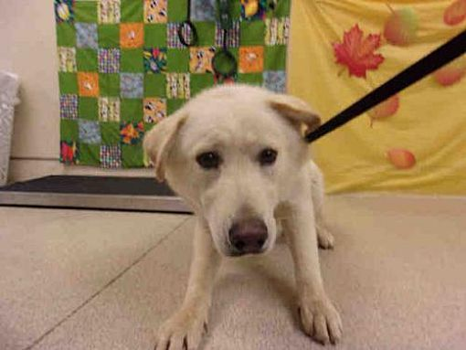 Pictures Of Dog A Labrador Retriever For Adoption In Jurupa Valley