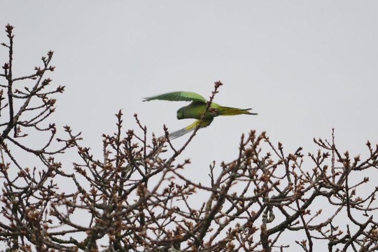 The fabled Singleton Park parrot - it exists! (pic via @lizardschwartz)