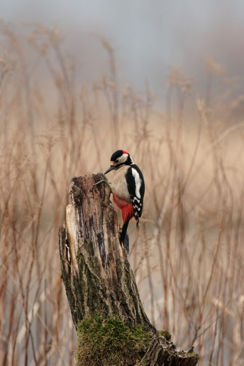 Great Spotted Woodpecker pecking at a tree-stump.