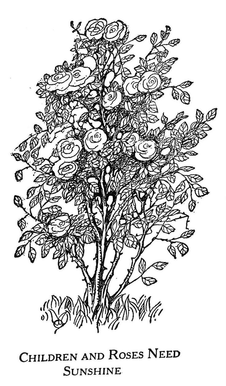 Rose Bush Pen Drawing