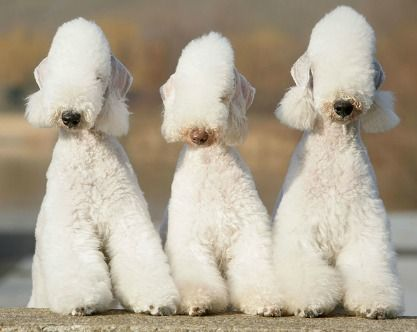 bedlington   Bedlington Terrier. Everything you want to know about this weird dog ...