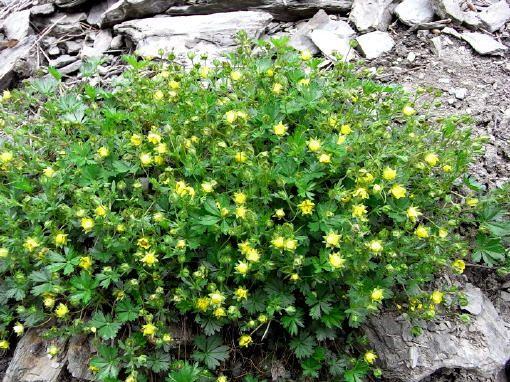 Zwerg-Trollblume (Trollius pumilus) mit beginnender Blüte