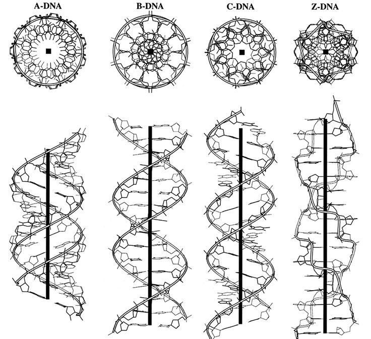 infinity-imagined:  The different structural conformations of DNA, visualized along the helical axis. B-DNA is the most common in the cell, but other forms including A-DNA, C-DNA, Z-DNA, triple stranded and quadruple stranded DNA polymers have also been discovered.