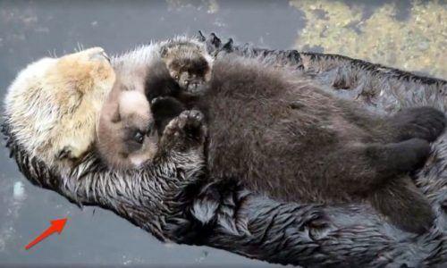 Beyond adorable! Baby sea otter trying to sleep on mom   Credit: ViralHog #news #alternativenews