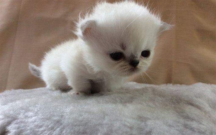 Download wallpapers Minuet Cat, cute cat, kitten, white cat, cute animals, cats, domestic cat, Felis catus