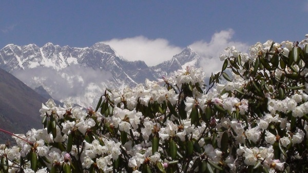 Mt. Everest Rhododendron