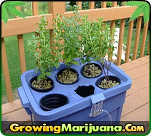 How Hydroponic Works In Growing Cannabis   http://www.growingmarijuana.com/how-hydroponic-works.php