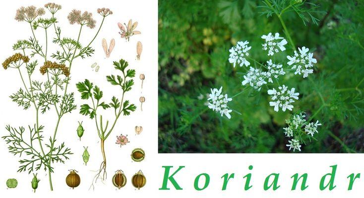 koriandr-ucinky-na-zdravi-co-leci-pouziti-uzivani-vyuziti
