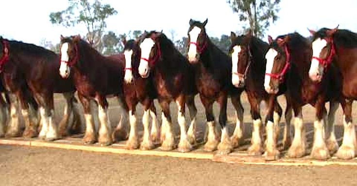 Watch The Budweiser Clydesdales In Their Journey To Superbowl via LittleThings.com