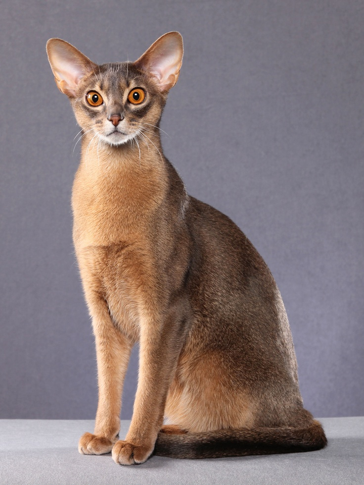 O Abyssinians 30 best Abyssin...