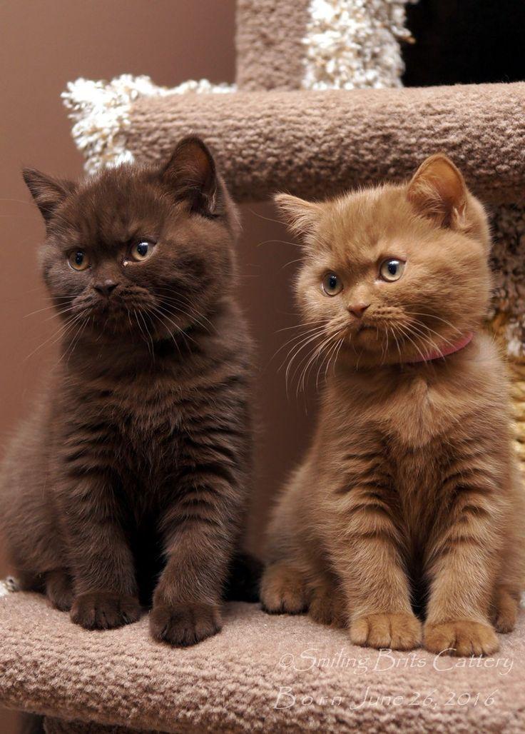 Cooper Daisy British Shorthair Kittens 10 Weeks Old With Images British Shorthair Kittens Cats And Kittens