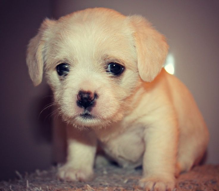 Litter of 4 Maltese/Chihuahua mix puppies up for adoption. 3 females & 1 male. One of the puppies looks mostly like a chihuahua and the other 3 look like a good mixture of both. These puppies are SO adorable and even sweeter than they look. They...
