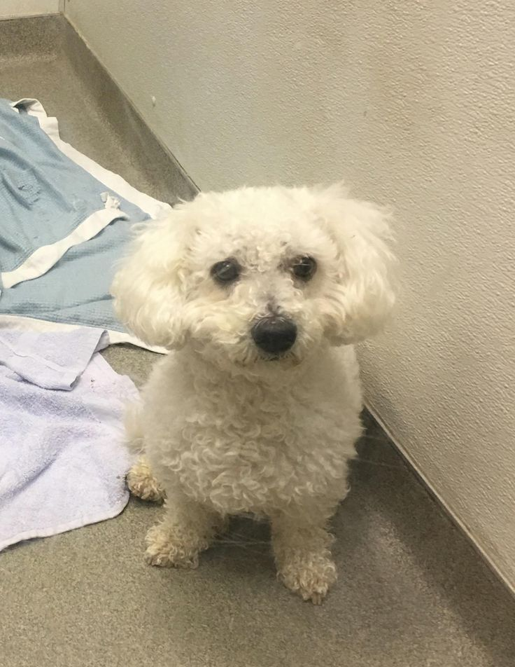 Meet ARTHUR, an adoptable Bichon Frise looking for a forever home. If you're looking for a new pet to adopt or want information on how to get involved with adoptable pets, Petfinder.com is a great resource.