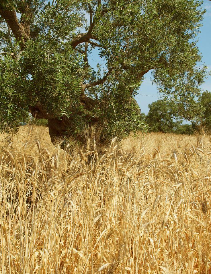 Il grano tra gli Ulivi, Fasano di Brindisi Puglia