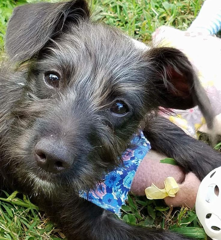 What do schnauzers do when they sleep? They schnore! My name is Cole and that's my favorite joke! I'm an adorable 4 week old schnauzer mix currently available for adoption so hurry to http://ift.tt/1vS2A9I to apply to adopt me today!  #dog #adopt #adoptme #adoption #adoptadog #adoptdontshop #adoptdontbuy #adoptdontbreed #foster #fosterdogs #fostertoadopt #puppylove #puppygram #puppies