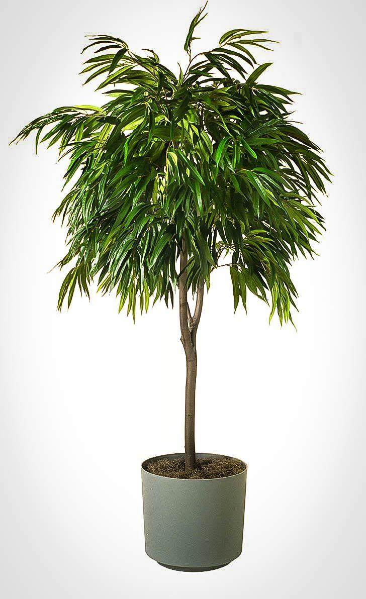 Long Leaf Ficus Tree Indoor Trees Low Light House Plants Indoor