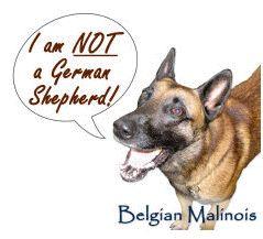 17 Best images about Belgian Malinois on Pinterest | Osama ...