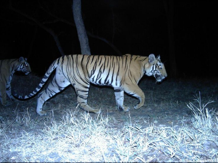 Participation of non-scientists as volunteers in conservation can play a significant role in saving wildlife including tigers in India, finds a new scientific research led by Duke University, USA, in collaboration with Wildlife Conservation Society and Centre for Wildlife Studies, Bengaluru.