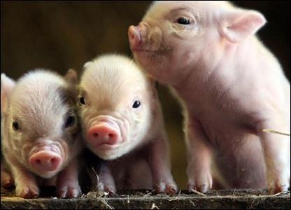 Cute.............. miniature pigs