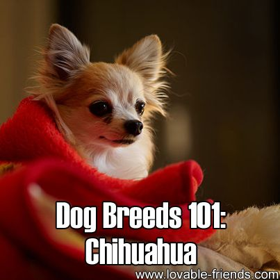 Dog Breeds 101: Chihuahua! ►► http://www.lovable-friends.com/dog-breeds-101-chihuahua/?i=p