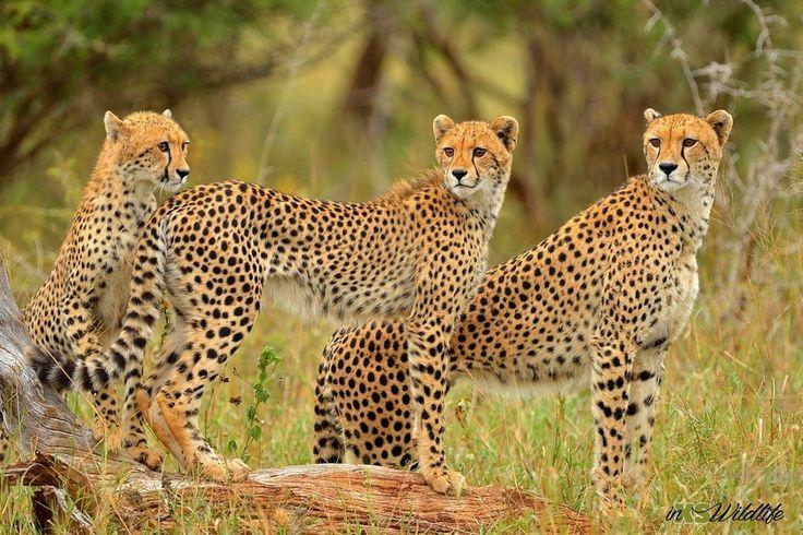 Cheetah Trio - Mother teaching her cubs how to hunt ©inXSWildlife #inxswildlife #wildlifephotography #cheetah #krugernationalpark #wildlife #cheetahtrio