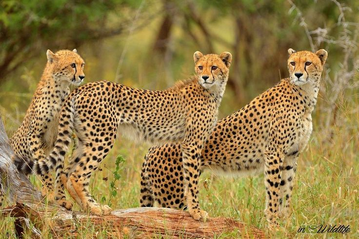 Cheetah Trio - Mother teaching her cubs how to hunt ©inXSWildlife #inxswildlife #wildlifephotography #cheetah #krugernationalpark #wildlife #cheetahtrio