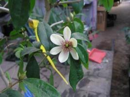"""Michelia skinneriana figo 5""""   La Jardinière St-Louis ltée   14.23$"""