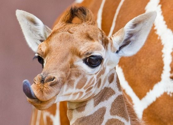 Google Image Result for http://www.jaunted.com/files/22421/2012_05_09_JA___BabyGiraffe.jpg
