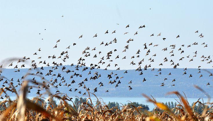 Csoportosan táplálékot kereső seregélyek a kukoricatábla felett (kép: Fuisz Tibor István)
