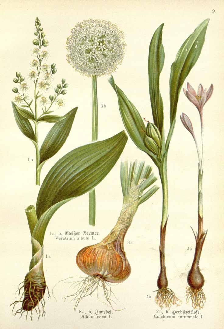 meadow saffron, Colchicum autumnale, Allium cepa, Veratrum album