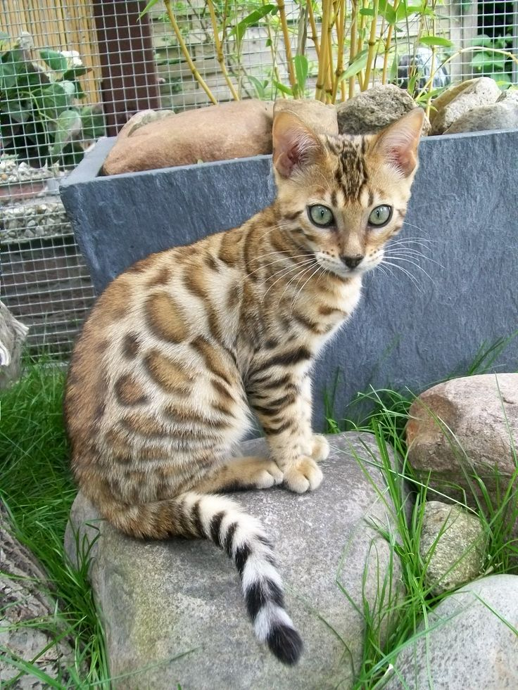 "A previous pinner said this was a Bengal, but it is not. This is closer to an Asian leopard cat, which is a ""parent"", so to speak, of the household Bengal, or even a Savannah."
