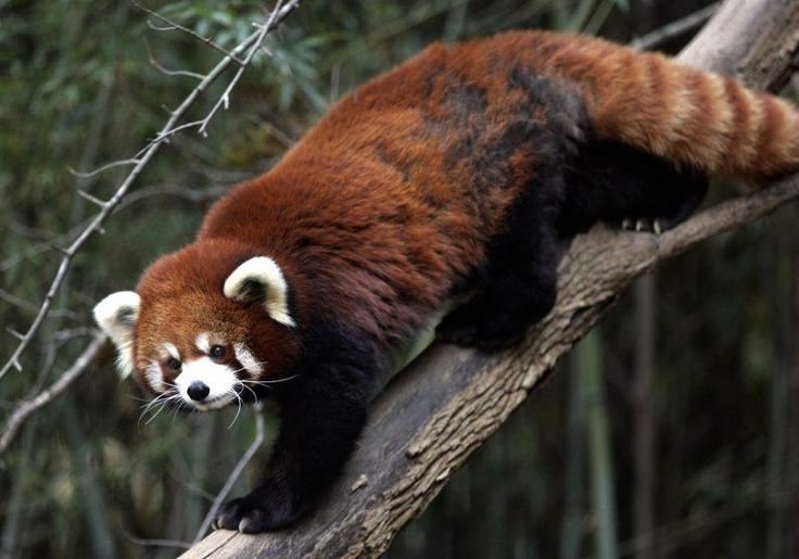 53 best Red Panda Network images on Pinterest | Red pandas ...