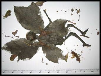 Butterfly man, moth man, or mummified remains of a dead fairy?
