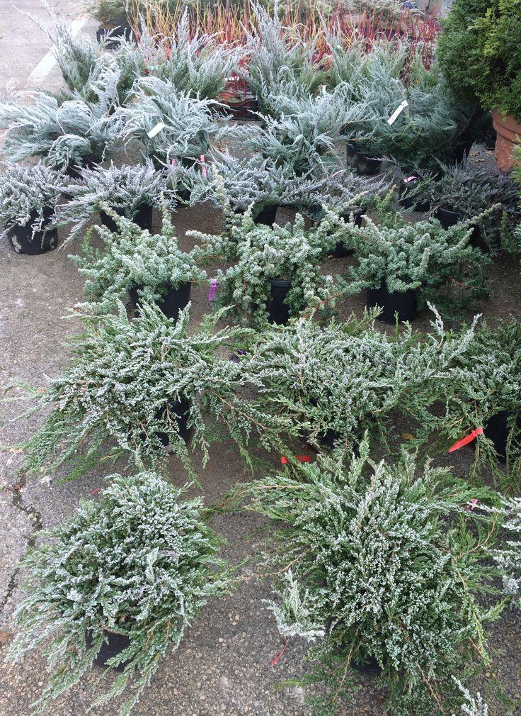 Non sai cosa regalare a Natale?  Regala una pianta, è un dono vivo!  Selezione di juniperus da aiuola, più o meno tappezzanti