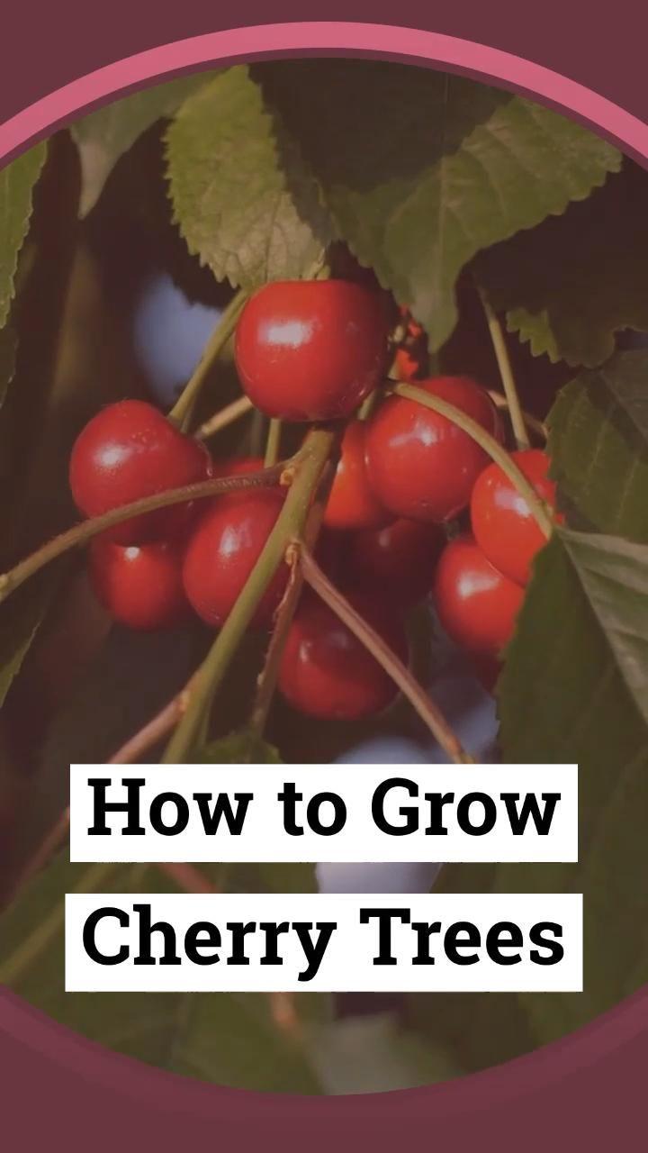 How To Grow Cherry Trees Video Growing Cherry Trees How To Grow Cherries Fruit Garden