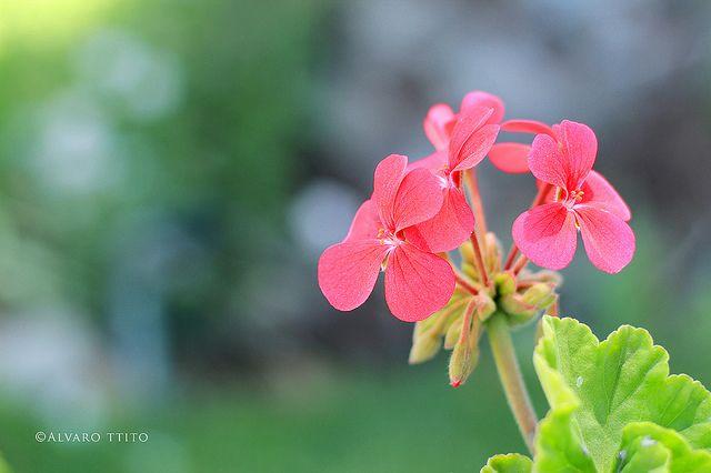 florcita en SOGAY - Arequipa, flower SOGAY Arequipa | Flickr: Intercambio de fotos
