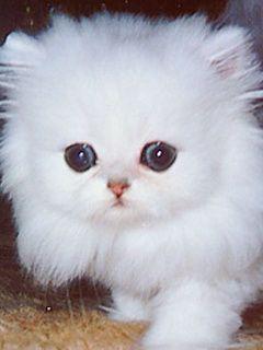 Fluffy Kittens | Fluffy Kitten Mobile Wallpaper